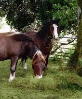Penrhyddion Pella Ponies - Oliver & Tyler